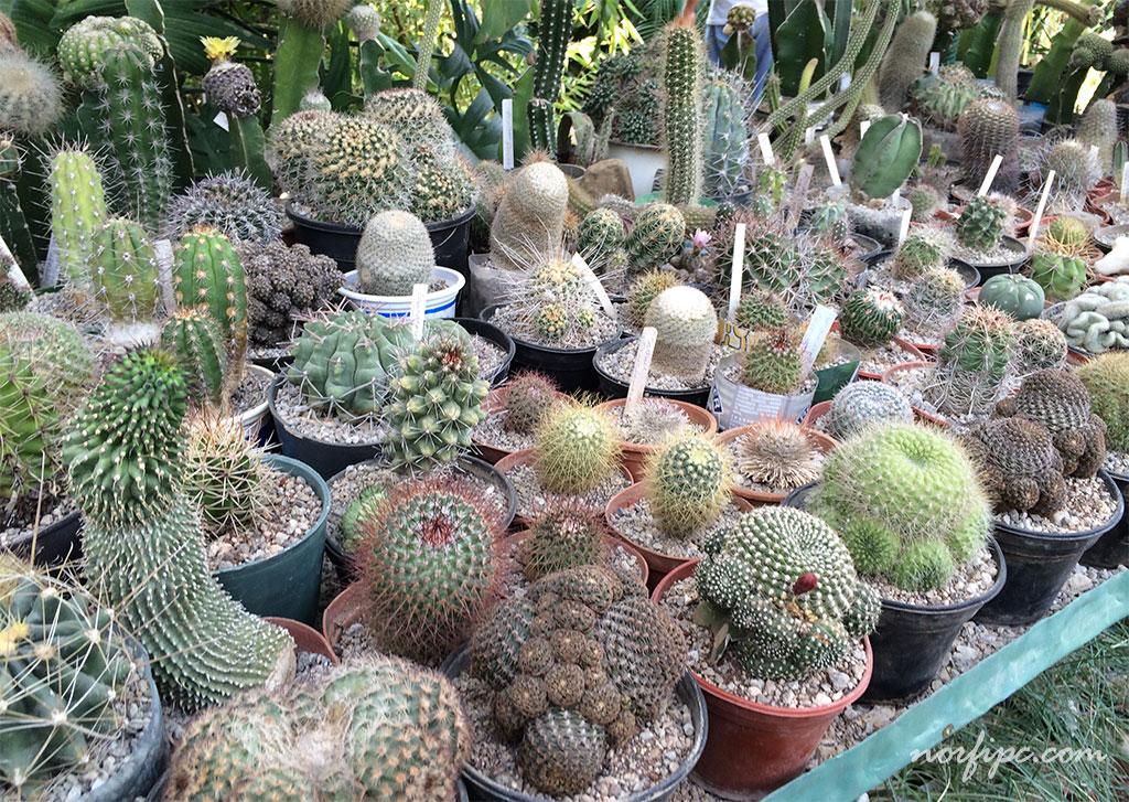 El vivero loter a la mayor colecci n de cactus de cuba for Fotos de cactus