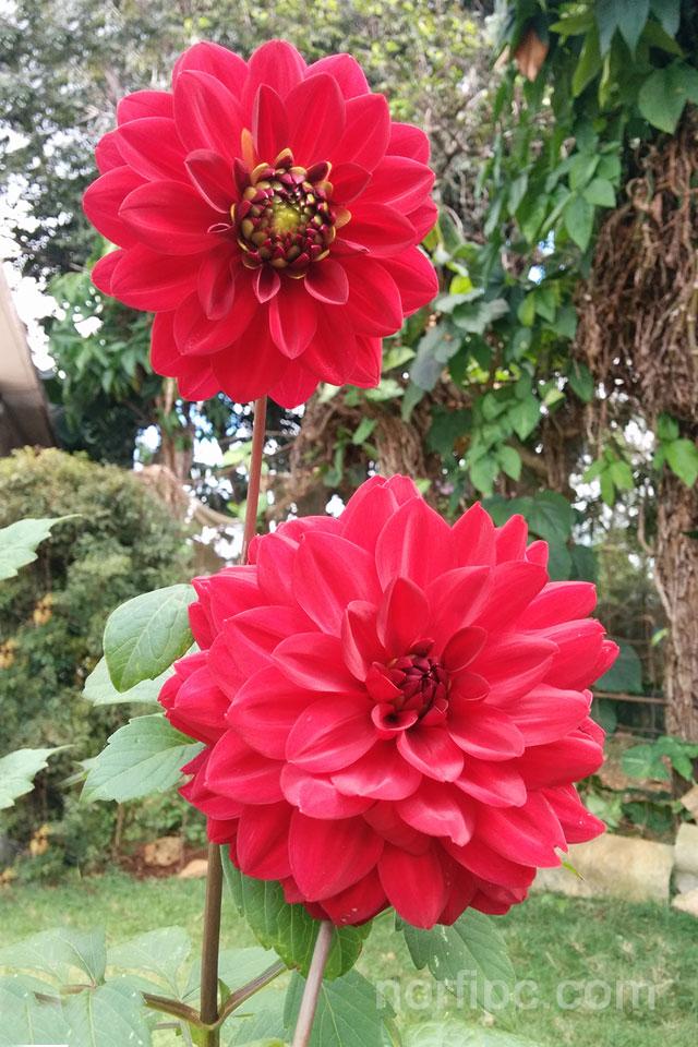 Fotos De Flores Y Rosas Para Fondos De Pantalla Del Celular