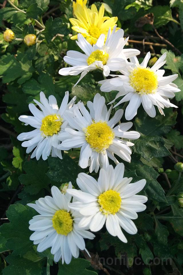 Fotos De Flores Y Rosas Para Fondo De Pantalla Del Celular Y Tableta
