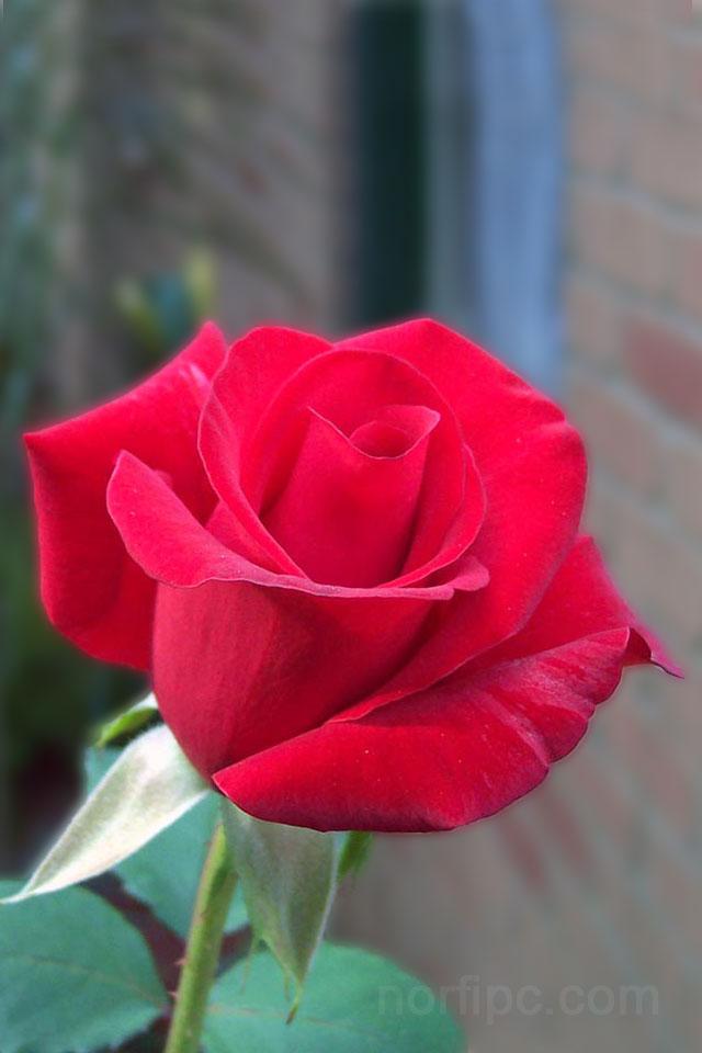 Fotos de flores y rosas para fondo de pantalla del celular for Imagenes para fondo de pantalla para celular