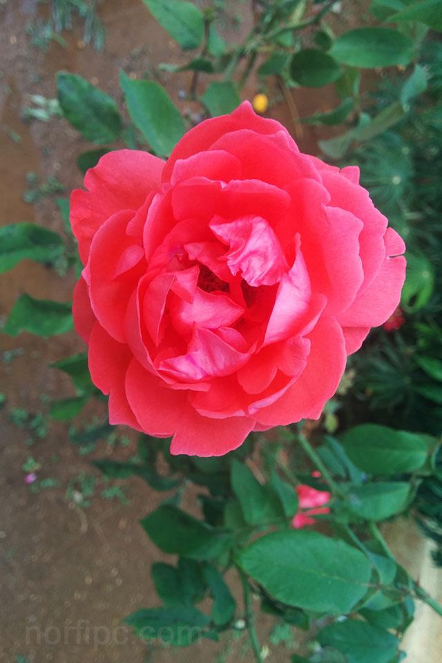 Fotos de flores y rosas para fondo de pantalla del celular for Fotos fondo de escritorio gratis