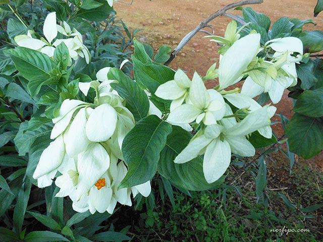 Fotos de la mussaenda o musandra for Planta ornamental blanca nieves