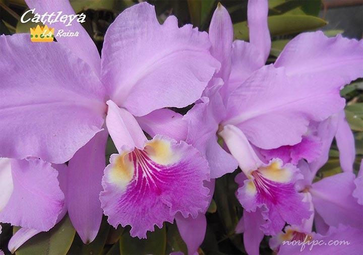 Flores de la orquídea Cattleya, la reina de las orquídeas