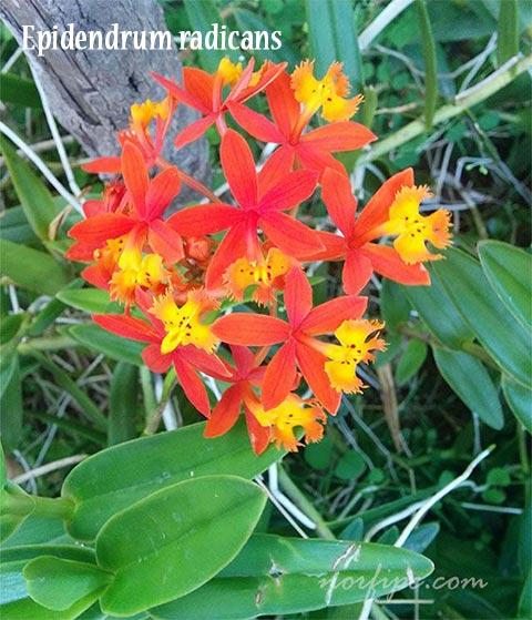 Flores de la Orquídea de la tierra o Epidendrum radicans