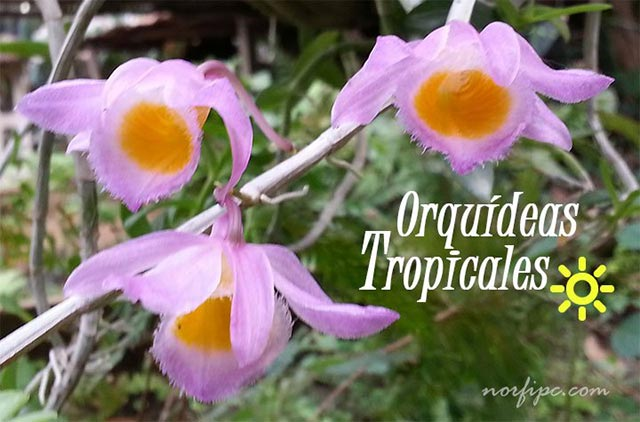 Fotos de orqu deas tropicales y sus flores for Plantas decorativas con sus nombres