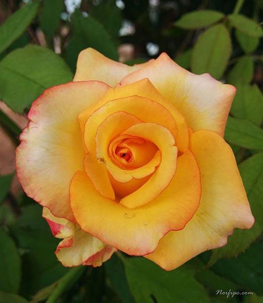 Fotos de flores de rosas amarillas - Significado rosas amarillas ...