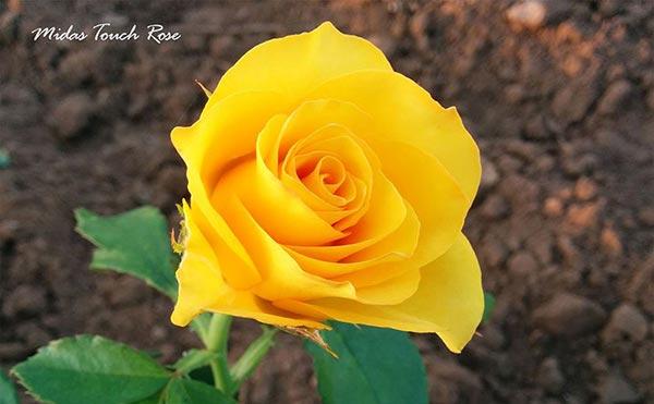 Fotos De Flores De Rosas Amarillas
