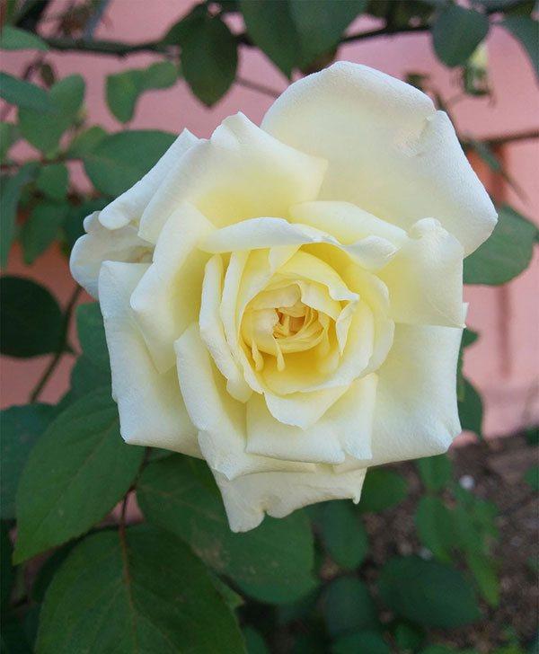 Fotos De Flores De Rosas Blancas