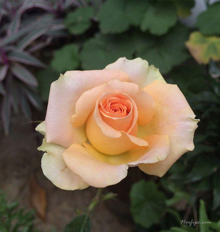 Fotos de flores de rosas de color naranja - Fotos de rosas de colores ...