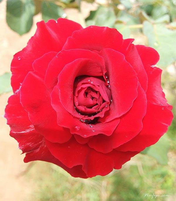 Mano Hermosa Rosa Roja Online - esdhgatecom