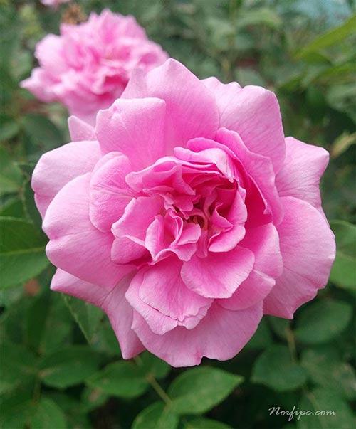 fotos de flores de rosas rosadas