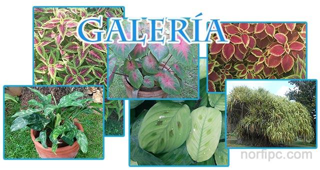 Galer a de fotograf as de plantas decorativas y ornamentales for Tipos de hojas ornamentales