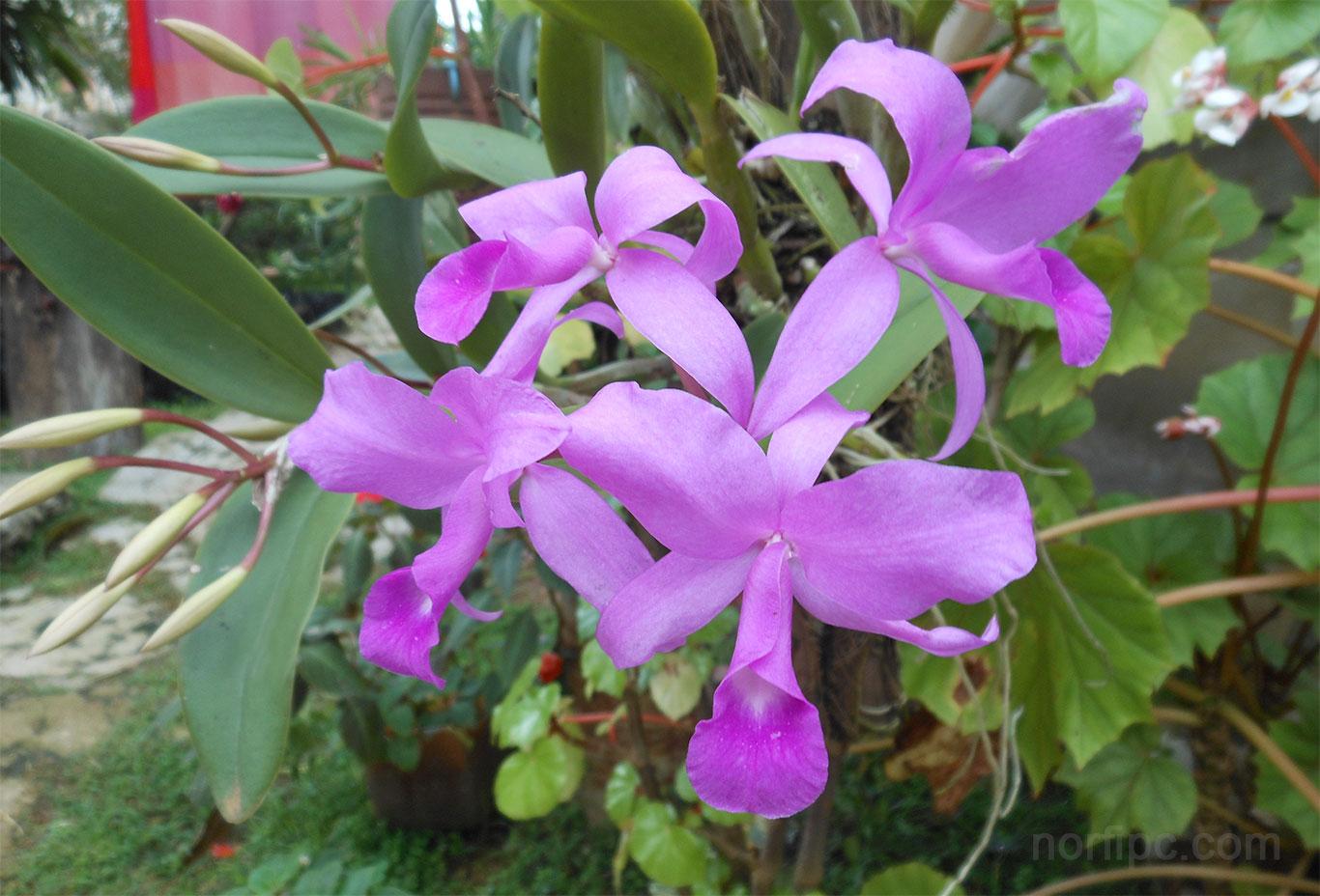 Index of /fotos/naturaleza/orquidea-cattleya