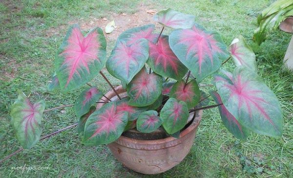 Fotos del caladium o caladio for Plantas de interior hojas rojas