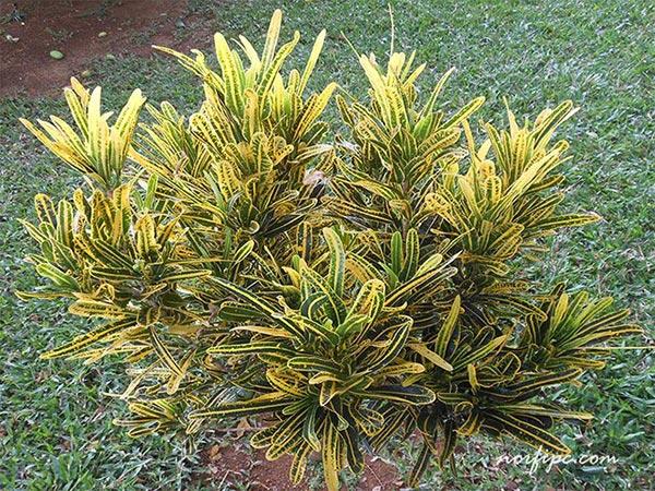 Los crotos croton croto o codiaeum for Tipos de hojas ornamentales