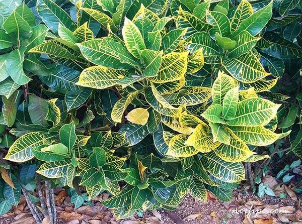 Los crotos croton croto o codiaeum for Matas de jardin