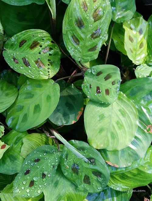 Pin plantas ornamentales hawaii dermatology pictures on for Plantas ornamentales