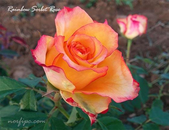 Rosas y rosales tipos especies y variedades - Fotos de rosas de colores ...