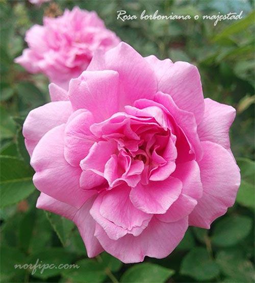 Rosas y rosales, tipos, especies y variedades