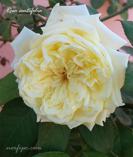 Rosas Y Rosales Tipos Especies Y Variedades