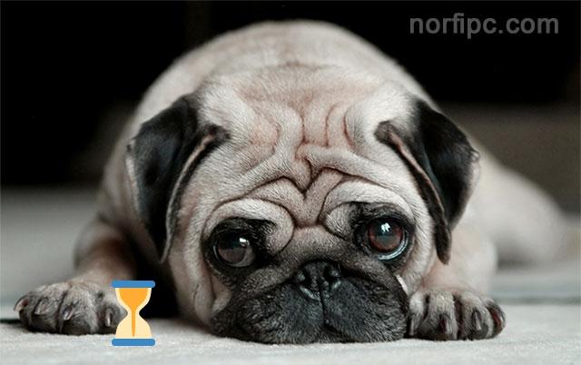 Download Pug Dog Hd Wallpaper Gallery: Como Saber En Años Humanos La Edad Que Tiene Mi Perro